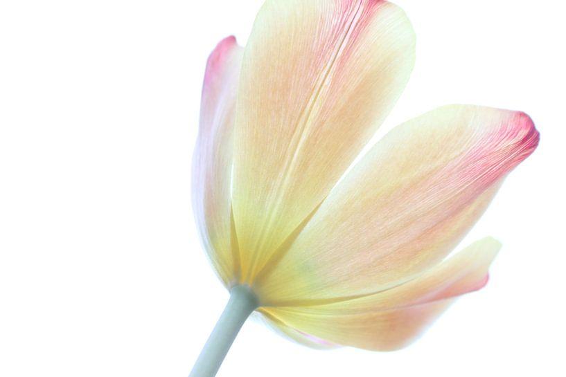 Die stolze Tulpe van Augenblicke im Bild