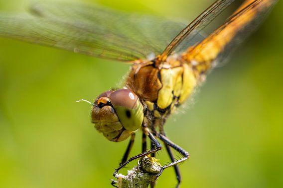 Libelle (heidelibel)