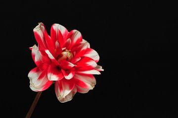 """""""Vibrance"""" - Rot / weiße Dahlie auf schwarzem Hintergrund von Rob van der Post"""