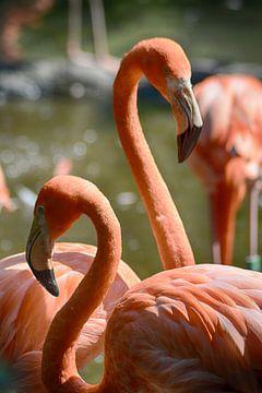 Flamingos von FotoGraaG Hanneke
