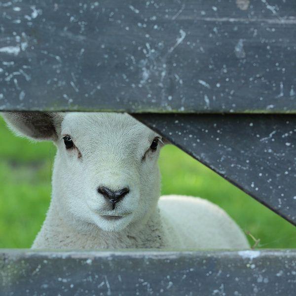 Lammetje, jong schaap van Ronald Smits