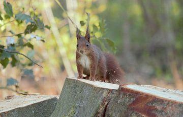 Eichhörnchen auf Baumstumpf von Anke Winters