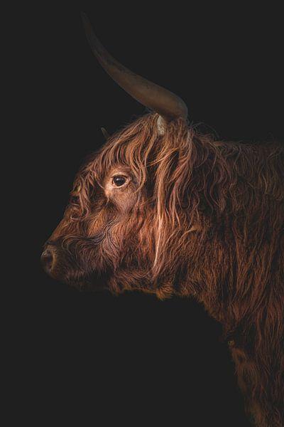 Schottischer Hochland-Langhorn von John van den Heuvel