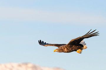 Seeadler fliegt in der Luft von Sjoerd van der Wal