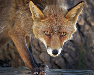Reintje/a young fox von Harrie Muis