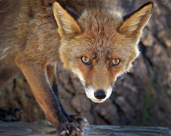 Reintje/a young fox