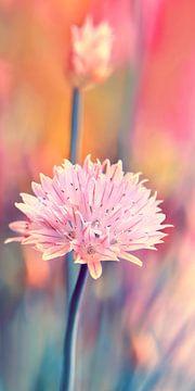 Schnittlauchblüte von Violetta Honkisz