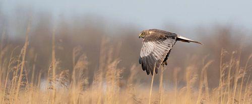 Een  panorama van een Kiekendief. De vogel vliegt met uitgespreide vleugels boven een rietkraag op d