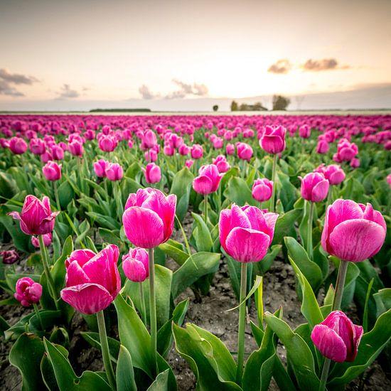Bloeiende tulpen tijdens zonsondergang in Flevoland van Sjoerd van der Wal