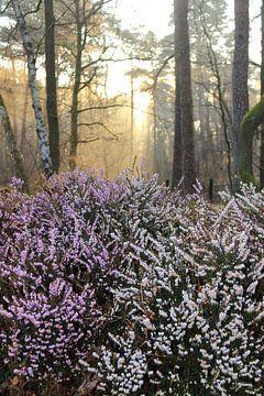 Bloeiende heide in het bos van Bobsphotography
