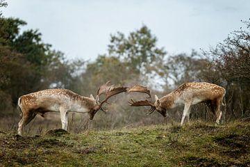 Fallow deer fight  sur