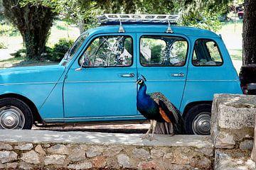 Pauw bij blauwe auto  von Ina Hölzel