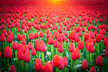 Rote Tulpen in einem Feld während eines Frühlings Sonnenuntergang von Sjoerd van der Wal