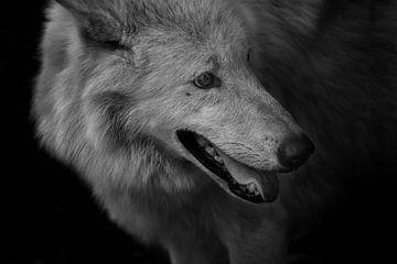 Polarwolf von Dieter Beselt