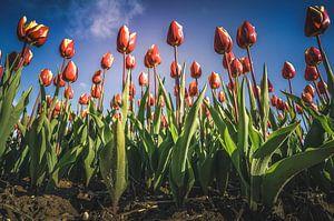Reuzen tulpen