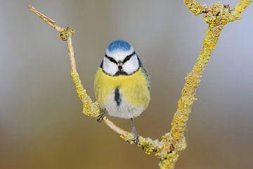 Blaumeise ( Cyanistes caeruleus ) sitzt in einer Astgabel, direkter Augenkontakt, lustiges Bild. von wunderbare Erde