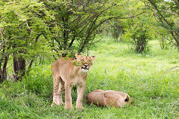 Junger Löwe im Gras, Wildlife von Britta Kärcher