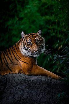 Tiger von Evi Willemsen