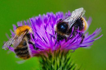 twee bijen op een distel van Wietske Uffelen