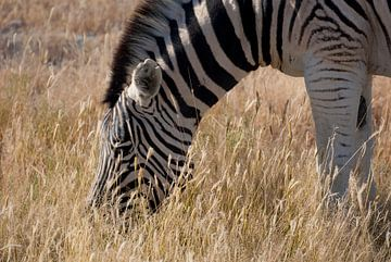 Zebra geniet van zijn maal van