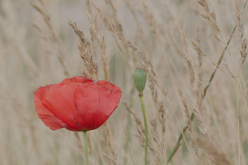 Poppy in a field of wheat van Jaco Verheul