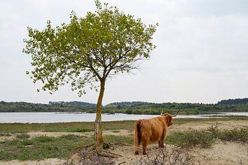 Schotse Hooglander bij boom von Susan Dekker