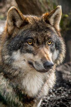 De blik van een Karpatenwolf van Marcel Runhart