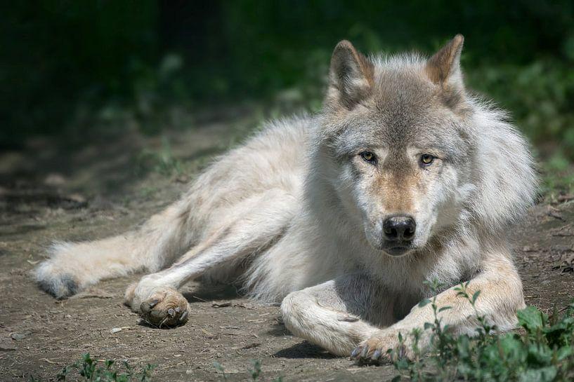 Starende wolf, Yoho NP Canada van Christa Thieme-Krus