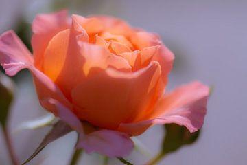 zachte oranje roos van