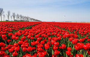 Tulpen in Holland van