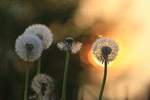 dandelion in sunlight... van Els Fonteine