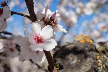 Mandelblüte 5 von Montepuro