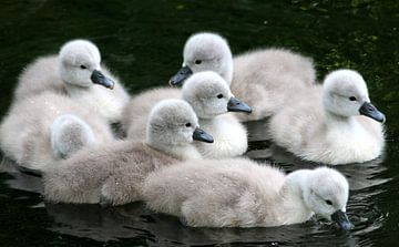 Seven Fluffy Baby Cygnets von Ger Bosma