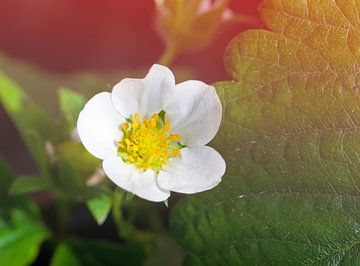 Erdbeerblüte von BVpix