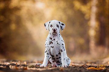 Dalmatiër puppy van Lotte van Alderen