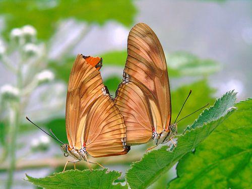 Dryas Julia.. Love on a Leaf! ( Tropische vlinders ) Collectie 2018 van Jan van Bruggen