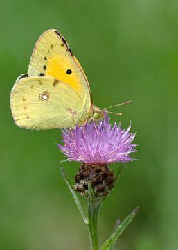 Papillon de luzerne jaune sur renouée noire. sur Petra Vastenburg