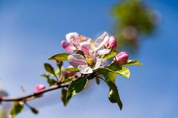 Apfelblüte von Peter Baier