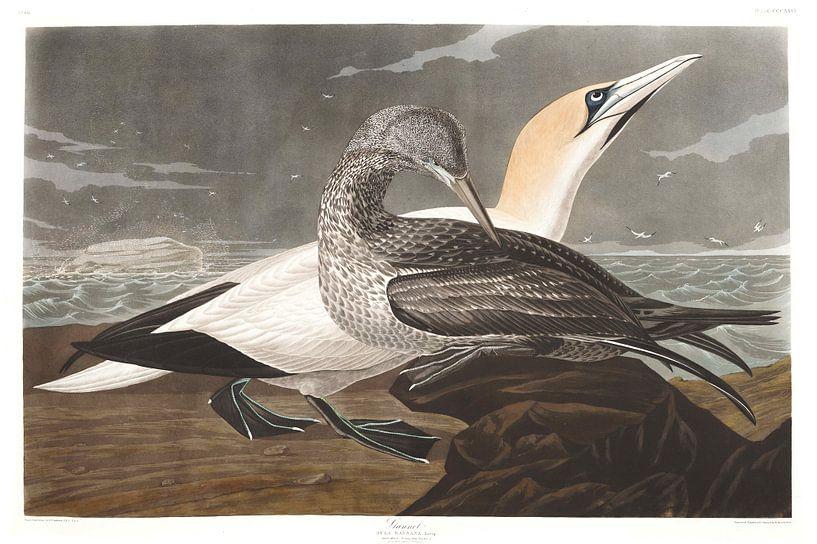 Morus van Birds of America
