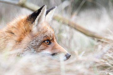 Der Fuchs versteckt sich und ist im Fokus! von As Janson