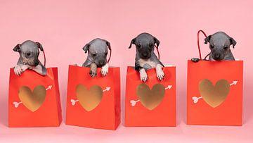 Panorama van vier Amerikaanse naakthonden of American Hairless Terrier puppies zittend in een rode p van Leoniek van der Vliet
