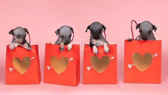 Panorama van vier Amerikaanse naakthonden of American Hairless Terrier puppies zittend in een rode p