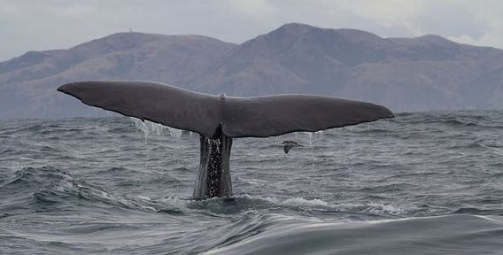 Walvis Nieuw Zeeland van Jeroen Meeuwsen