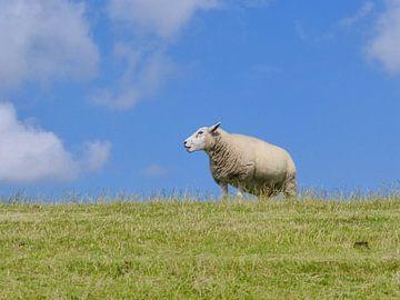 Moutons sur la digue de Terschelling sur Jessica Berendsen