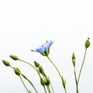 Vlas bloem van Hille Monster