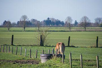 Trinkendes Pferd, auf den Feldern von Manuel Declerck