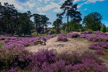 Blühendes Heidekraut auf den Soesterdünen von Maarten Kerkhof