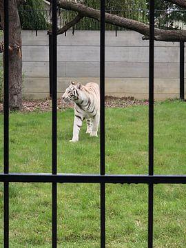 Weißer Tiger von tania mol