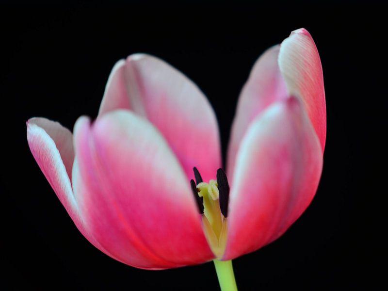 Tulp roze met zwarte achtergrond van Jessica Berendsen