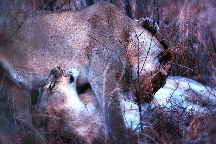 Kuschelnde Löwinnen von Aad Clemens